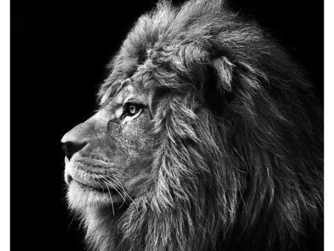 Lion Bilder