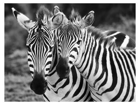 Zebras Motiv